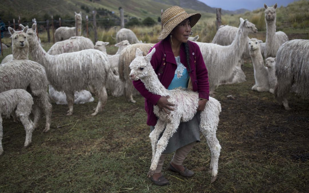 PERU: PUNO'S ALPACA FIBER FINEST OF THE WORLD